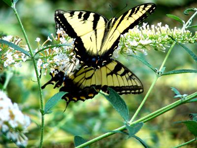 Butterfly_1_2